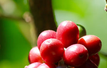 Load image into Gallery viewer, Coffee cherries