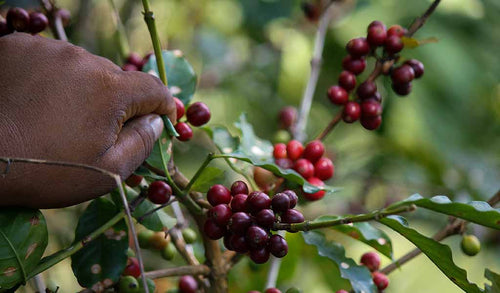 Coffee cherries being harvested.