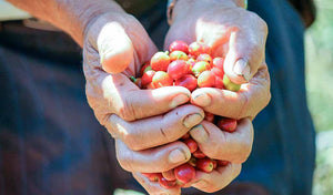Red coffee cherries in a farmer's hands.