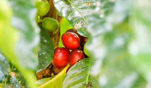 Coffee cherries on the plant.