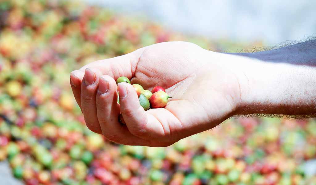 Freshly harvested coffee cherries.