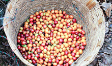 Load image into Gallery viewer, Organic , freshly harvest coffee cherries in a basket.
