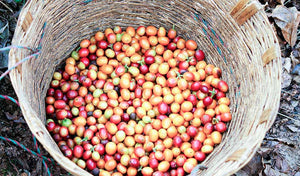 Organic , freshly harvest coffee cherries in a basket.