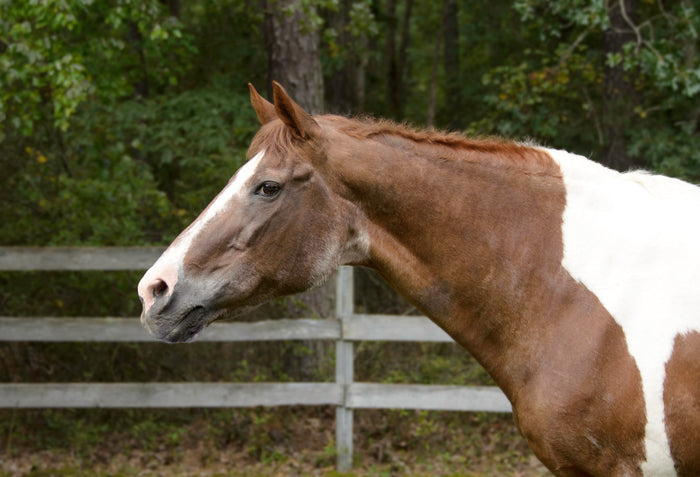Managing the Geriatric Horse