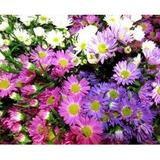 bright pink and purple asters