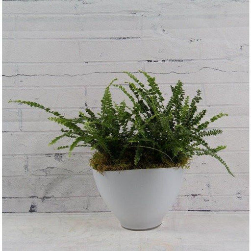 Lemon Button Fern - flowersbypouparina.com