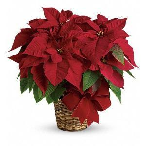 Red Poinsettia - flowersbypouparina.com