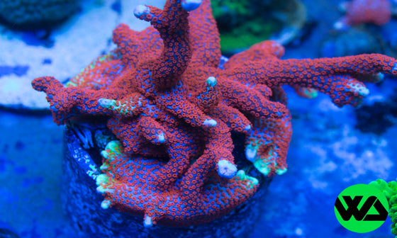 "WA ""Bubble Gum"" Montipora Digitata, SPS - Whitlyn Aquatics - Live Coral"