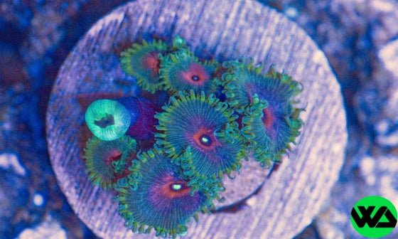 Captain America Paly, Zoanthid/Palythoa - Whitlyn Aquatics - Live Coral