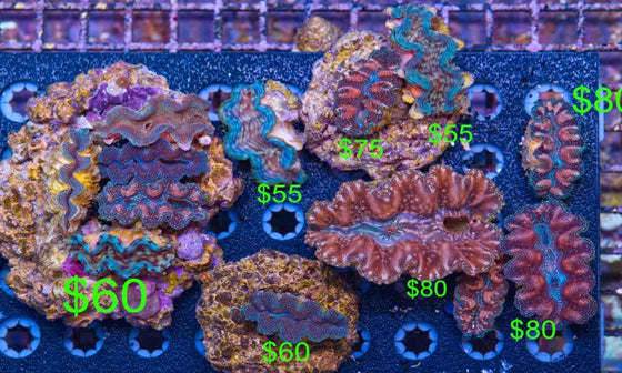 Squamosa Clams maxima reef safe coral friendly