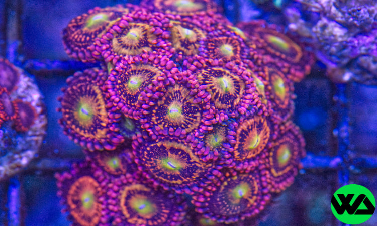Halle Berry Zoa Ultra, Zoanthid/Palythoa - Whitlyn Aquatics - Live Coral