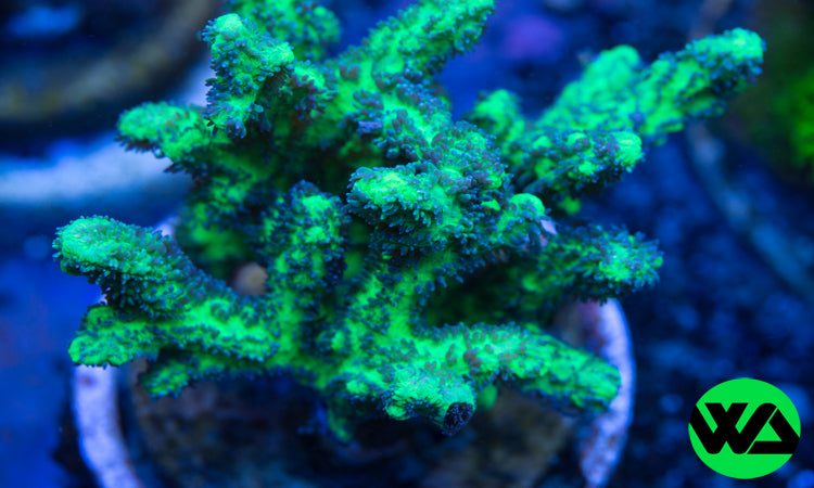 WA Hydnophora Horn Coral, SPS - Whitlyn Aquatics - Live Coral