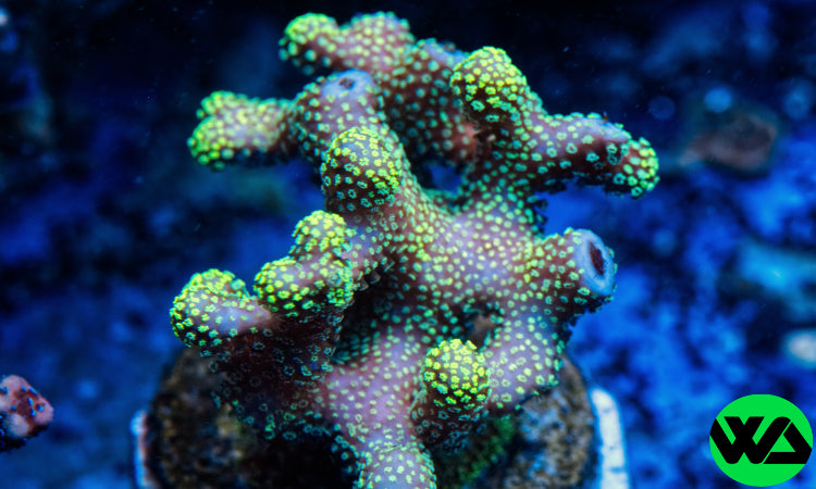 Neon Green Stylophora, SPS - Whitlyn Aquatics - Live Coral
