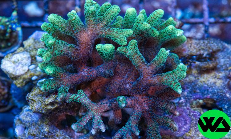Sour Apple Green Branching Birdsnest, SPS - Whitlyn Aquatics - Live Coral