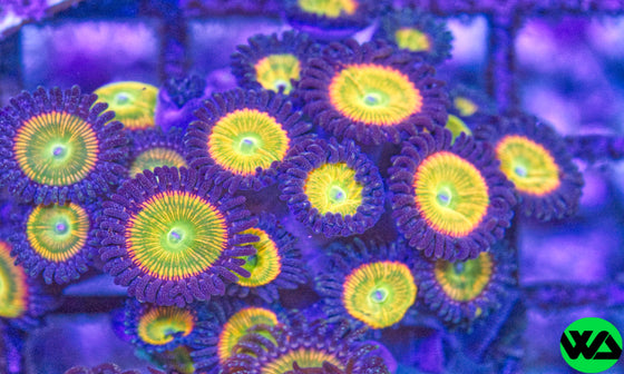 Rainbow Sunny D Zoa, Zoanthid/Palythoa - Whitlyn Aquatics - Live Coral