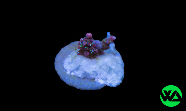 Tyree Pinkie The Bear, SPS - Whitlyn Aquatics - Live Coral