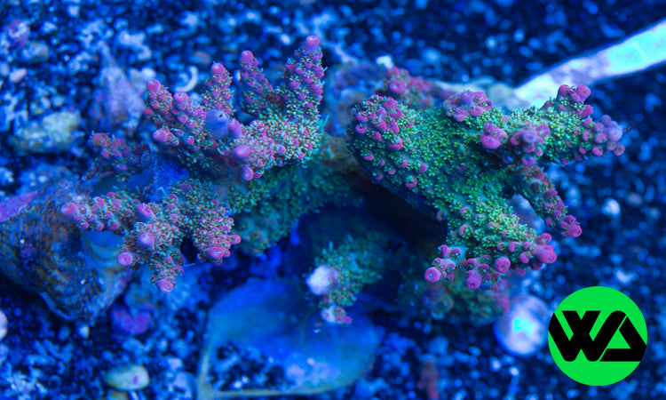Tyree Pinkie The Bear WA Whitlyn Aquatics Acropora Coral For Sale