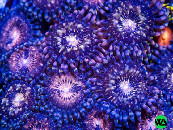 WWC Pandora Paly, Zoanthid/Palythoa - Whitlyn Aquatics - Live Coral