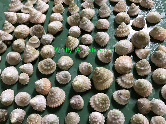 Astrea, Top Shell Snails, Invertebrate - Whitlyn Aquatics - Live Coral