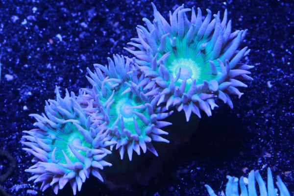 NEON GREEN CENTER DUNCAN CORAL, Duncan - Whitlyn Aquatics - Live Coral