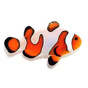 Amphiprion ocellaris - SA - Fancy White - EXTREME - aka Gladiator DaVinci Clownfish, Fish - Whitlyn Aquatics - Live Coral