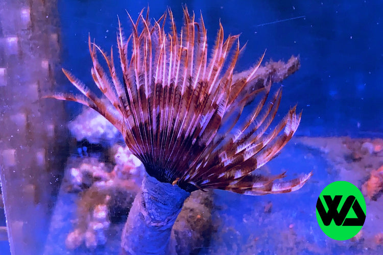 Feather Duster, Shrimp - Whitlyn Aquatics - Live Coral