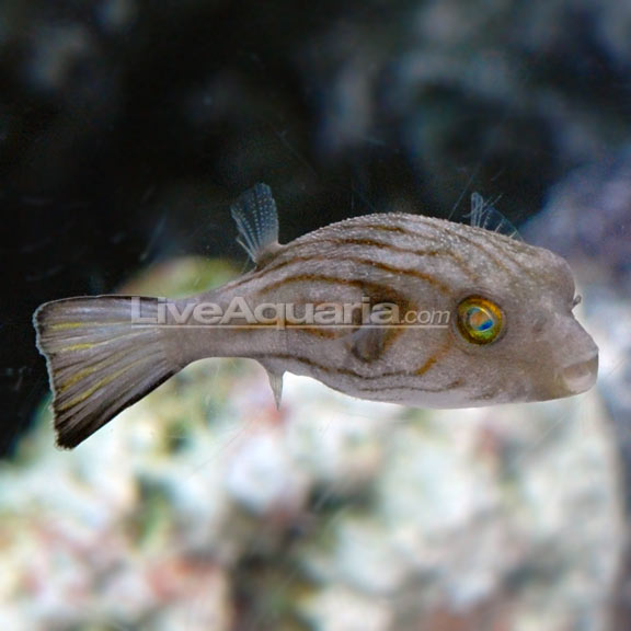 Narrow Lined Puffer - Arothron manilensis
