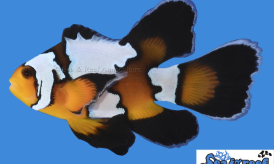 Amphiprion Ocellaris  - Longfin Black Ice Clownfish