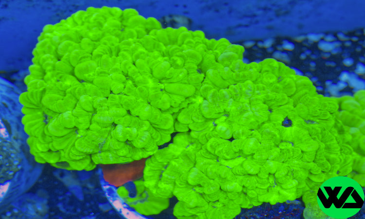 Neon Green Trumpet Candy cane coral, LPS - Whitlyn Aquatics - Live Coral