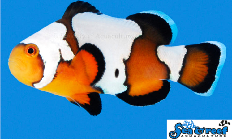 Amphiprion Ocellaris  - Black Ice Clownfish