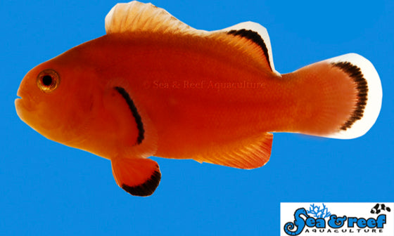 Amphiprion Ocellaris  - Naked Clownfish