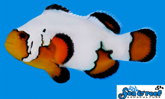 Amphiprion Ocellaris  - Ultra Black Ice Clownfish