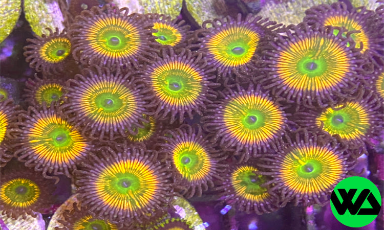 OG Sunny D Zoa Zoanthid, Zoanthid/Palythoa - Whitlyn Aquatics - Live Coral
