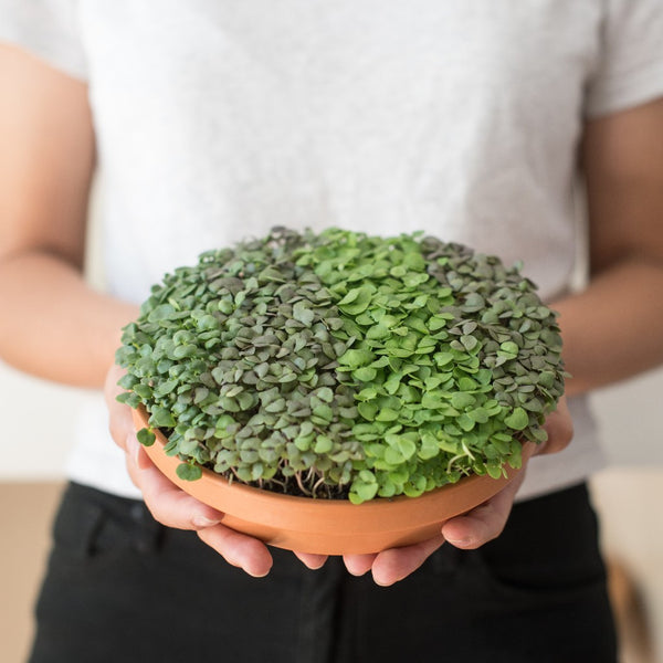 "6"" Edible Microgreen Centerpiece - Top Shelf Varieties"