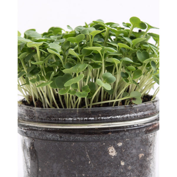 "2"" Edible Microgreen Centerpiece"