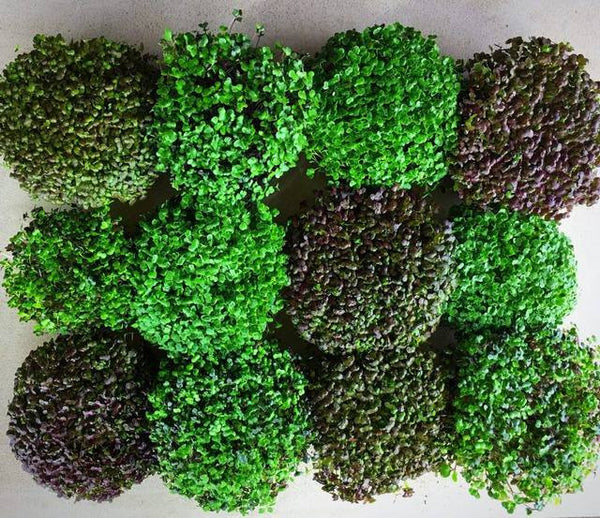 "6"" Edible Microgreen Centerpiece - House Varieties"