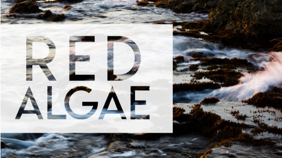 Red Algae – Another of Nature's Miracles