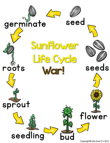 Sunflower Life Cycle Sequencing Card Game