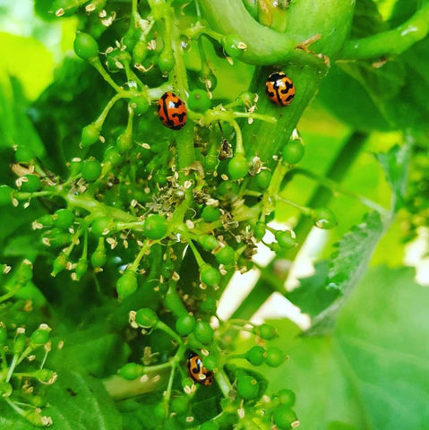 Sustainability in Action - Predatory Lady bugs in action