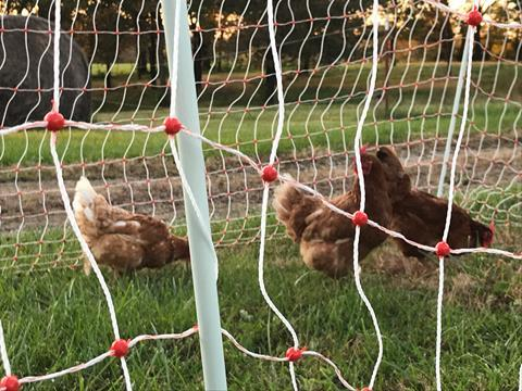 Chickens in the poultry netting