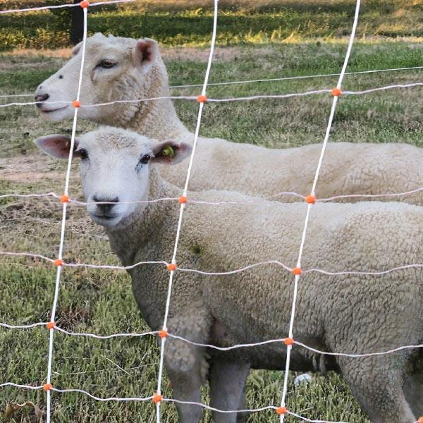 Sheep contained with the netting