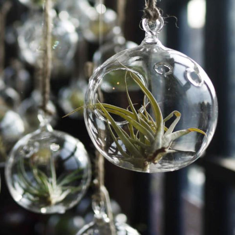 Air Plant Ornament - City Bird