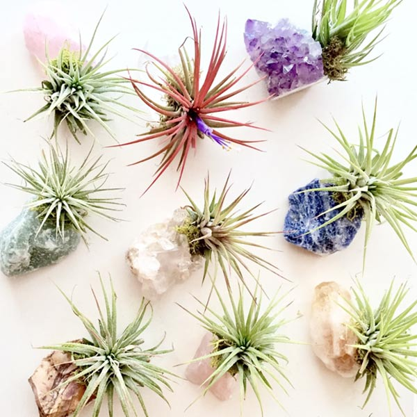Assorted Crystal Air Plants - City Bird