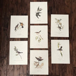 Collection of Audubon Prints