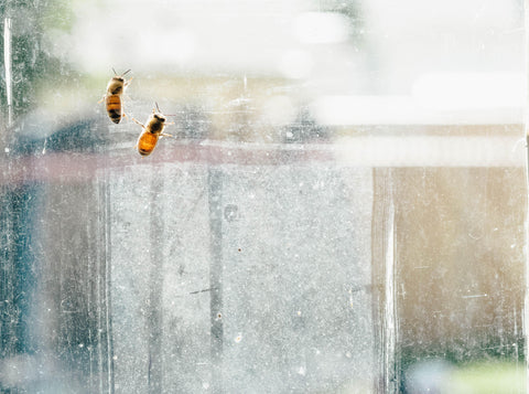 honey bees on window
