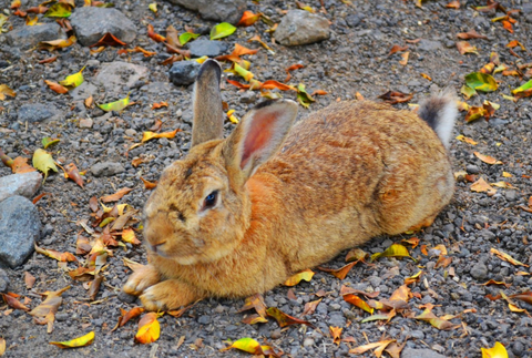 Autumn rabbit