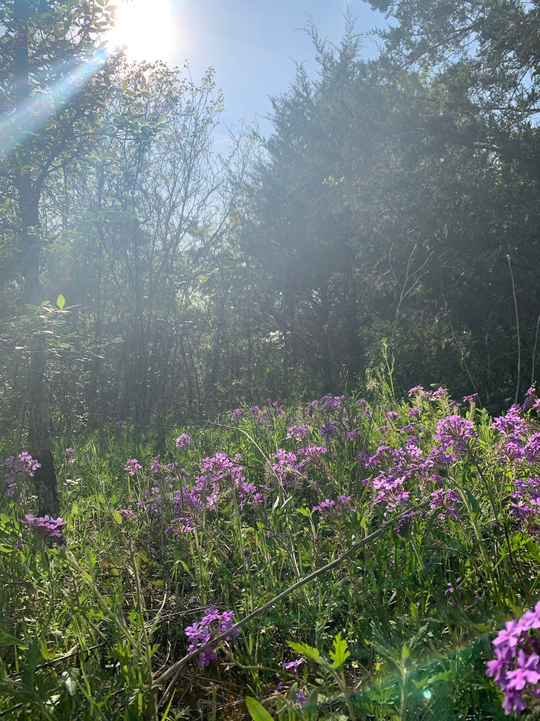 Cedar Glades with Rose Verbena Wildflowers at Little Seed Farm
