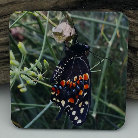 Coaster--Photo Print--Cork--Black Swallowtail Butterfly