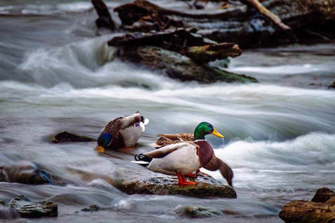 Mallard Ducks Long Exposure Photograph