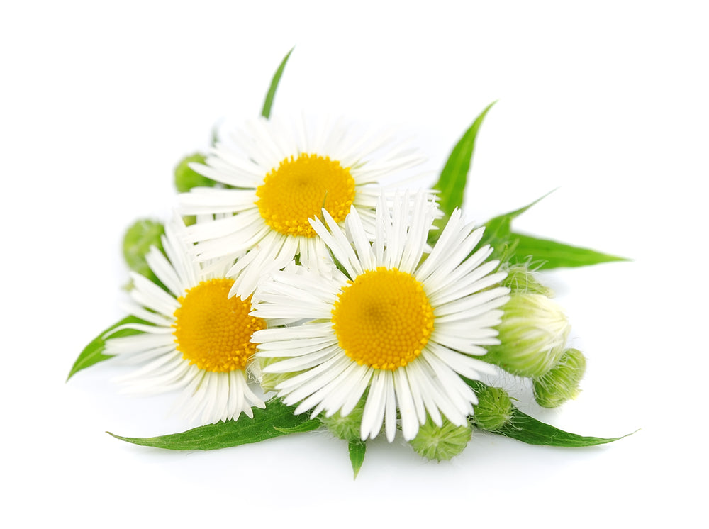 Chamomile (Roman) - By Faith Essential Oils